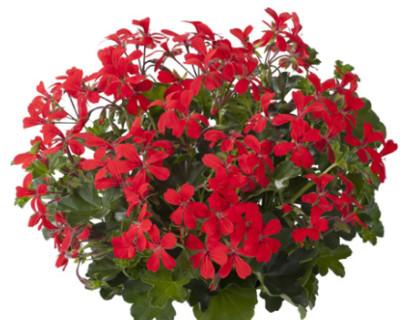 Geranium balkonhanger rood 'Oostenrijker' - Oostenrijkse hangende geranium