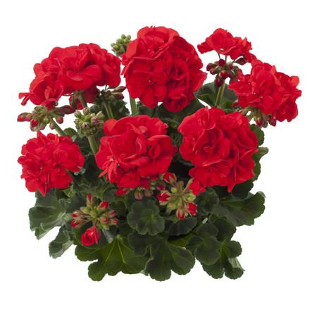 Geranium staand 'Friesia' - Staande geranium