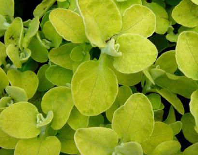 Helichrysum geelbladig - Helichrysum