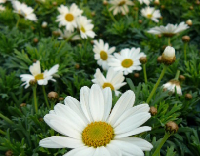 Chrysanthemum op stam - margriet