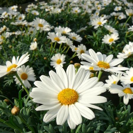 Chrysanthemum - Margriet