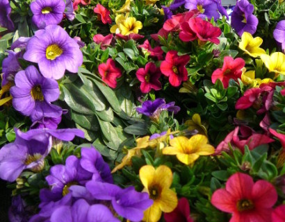Million Bells of Calibrachoa driekleurig - Million Bells of mini-Surfinia