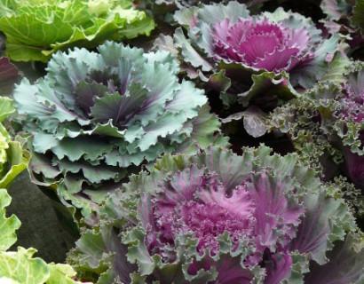Brassica - sierkool