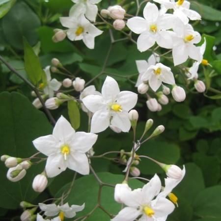 Solanum jasminoides op stam - Nachtschade