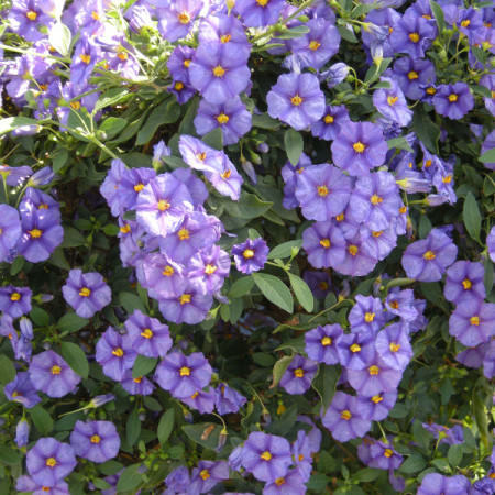 Solanum rant. 'Blue Fountain' op stam - Aardappelstruik