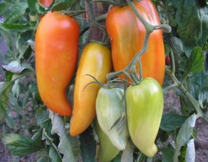 Tomaat Andine Cornue - rabarber
