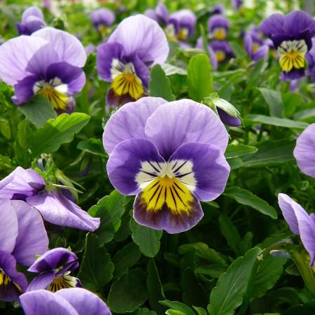 Viola cornuta kleinbloemig - Kleinbloemig viooltje