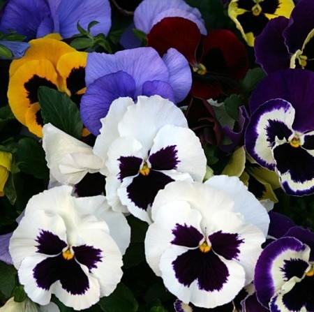 Viola F1 grootbloemig - Grootbloemig viooltje