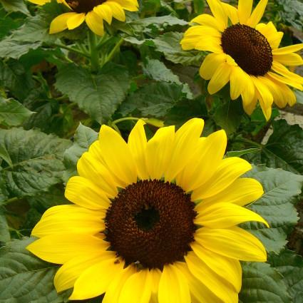 Zonnebloem - zonnebloem