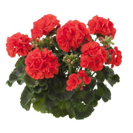 Geranium staand 'Aurora' - staande geranium