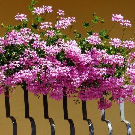 Geranium balkonhanger paars 'Oostenrijker' - Oostenrijkse hangende geranium