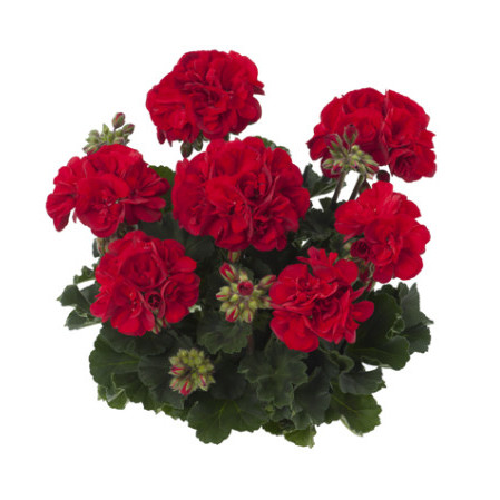 Geranium staand 'Bernd' - staande geranium