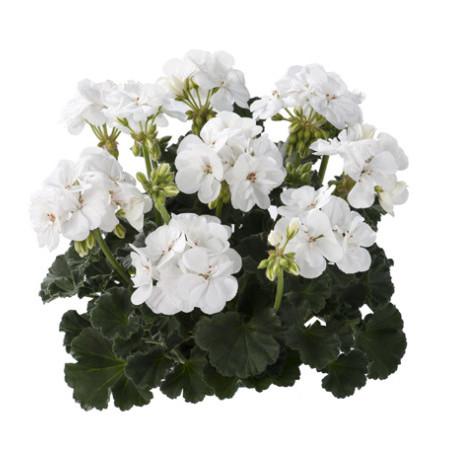 Geranium staand 'Cato' - staande geranium