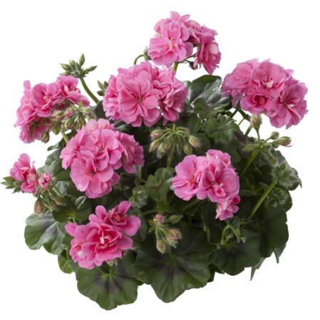 Geranium hang 'Erke' - hangende geranium