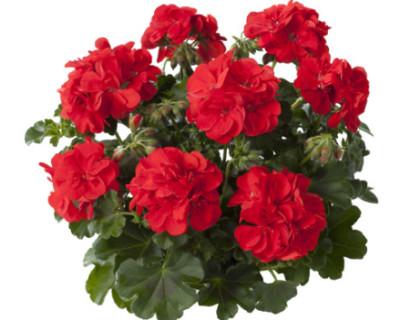 Geranium hang 'Falko' - hangende geranium
