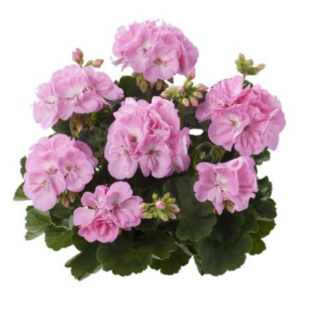 Geranium staand 'Gesa' - staande geranium