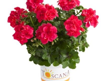 Geranium hang 'Josina' - hangende geranium