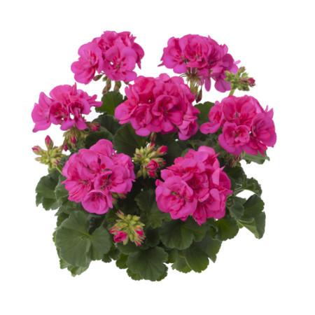Geranium staand 'Katarina' - staande geranium