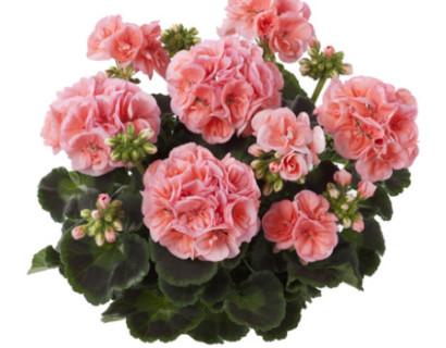 Geranium staand 'Lenja' - staande geranium