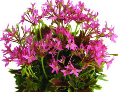 Geranium staand 'Lotusland' - staande geranium