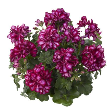 Geranium hang 'Maxima' - hangende geranium