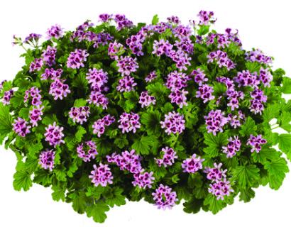 Geurgeranium - staande geurende geranium