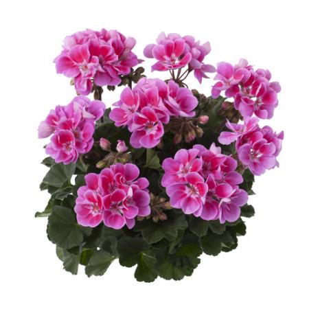 Geranium staand 'Raiko' - staande geranium