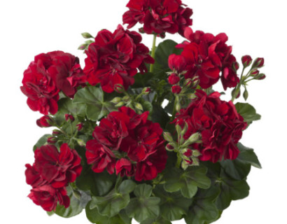 Geranium hang 'Renske' - hangende geranium