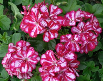 Geranium hang 'Rouletta' - hangende geranium