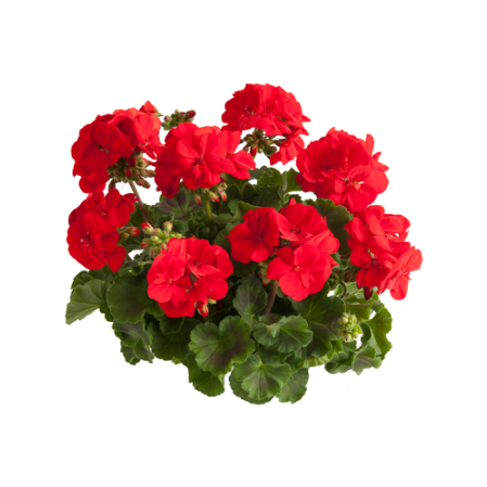 Geranium staand 'Senna' - staande geranium