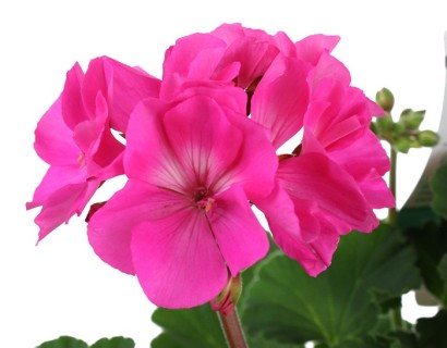 Geranium staand 'Shocking Pink' - staande geranium