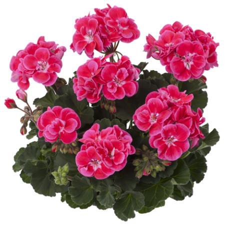 Geranium staand 'Tammo' - staande geranium