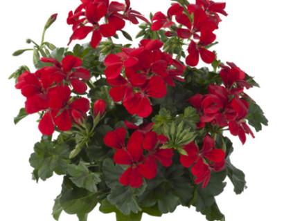 Geranium hang 'Villetta Rood' - hangende geranium