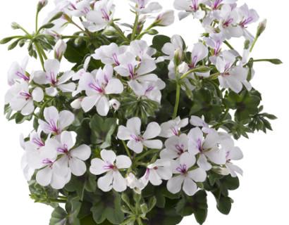 Geranium hang 'Villetta Wit' - hangende geranium