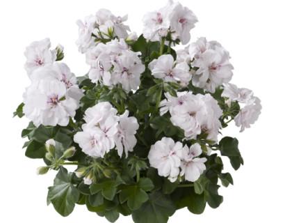 Geranium hang 'Wittje' - hangende geranium