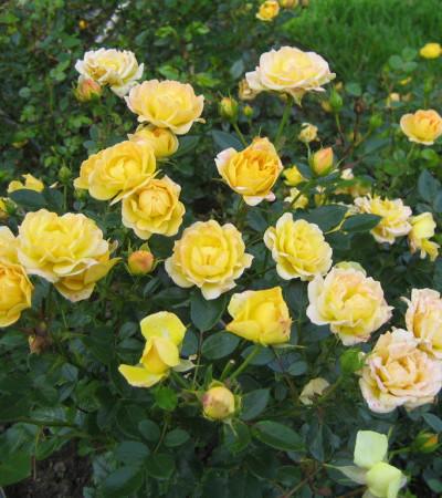 Rosa 'Yellow Fairy' - Bodembedekkende roos