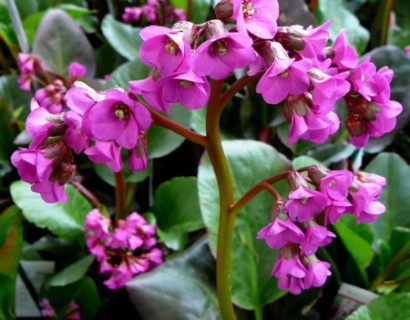 Bergenia 'Ouverture' - schoenlappersplant