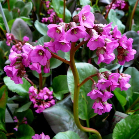 Bergenia 'Ouverture' - schoenlappersplant