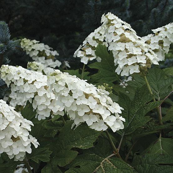 Hydrangea quercifolia 'Snowflake' - Eikenbladhortensia