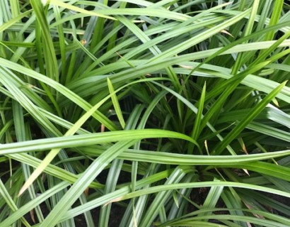 Carex 'Irish Green' pot 2 liter - Zegge