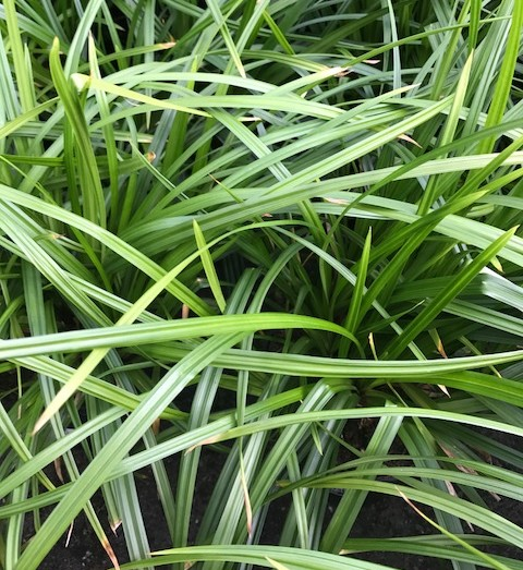 Carex 'Irish Green' - Zegge