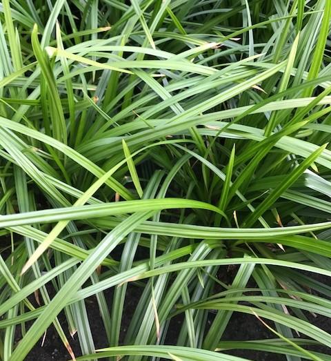 Carex 'Irish Green' - Zegge