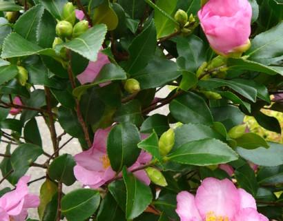 Camellia sasanqua 'Cleopatra' - Camellia