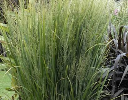 Panicum virgatum 'Northwind' pot 3 liter - vingergras