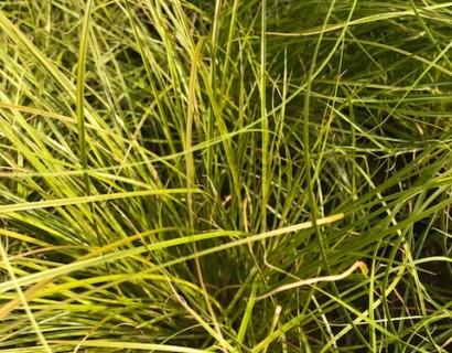 Carex testacea - zegge