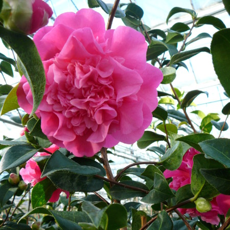 Camellia japonica 'Debbie' - Camellia