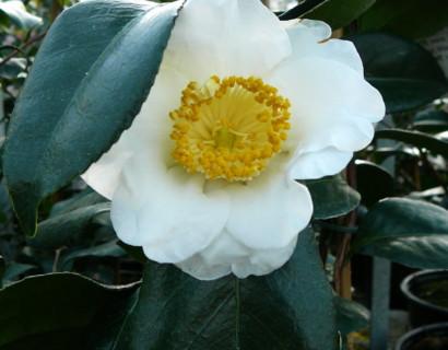 Camellia japonica 'Alba Simplex' - Camellia