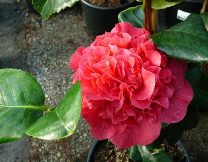 Camellia jap. 'Kramer's Supreme' - Camellia
