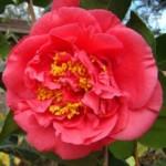 Camellia, groenblijvende struiken met prachtige bloemen