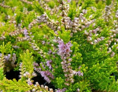 Calluna vulgaris 'Boskoop' - zomerheide, struikheide